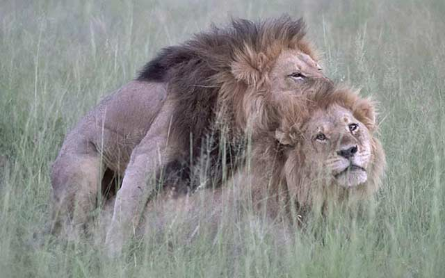 This is a photo of gay male lions.