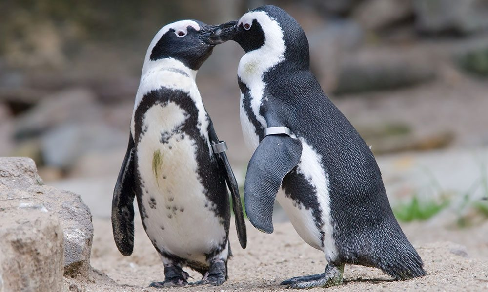 Egg-Stealing Gay Penguins Hatch and Raise Chick