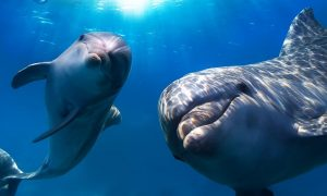 Gay dolphins underwater