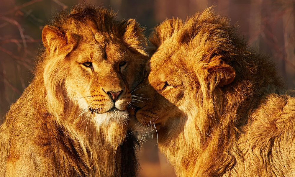 Male Lions Found Fornicating in Yorkshire Wildlife Park