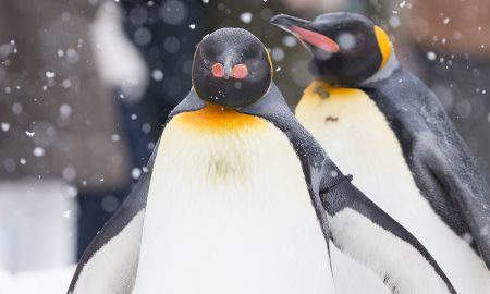 Gay Penguin Pair Swipes Chick From Its Lazy Parents