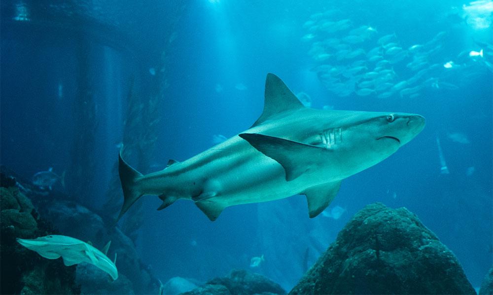Shark swimming in a tank